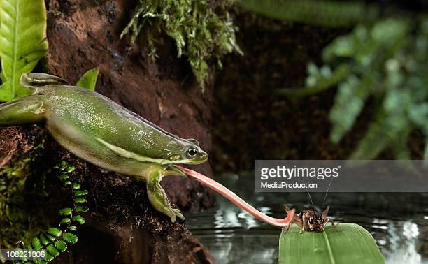 Frosch fangen Cricket mit Lasche