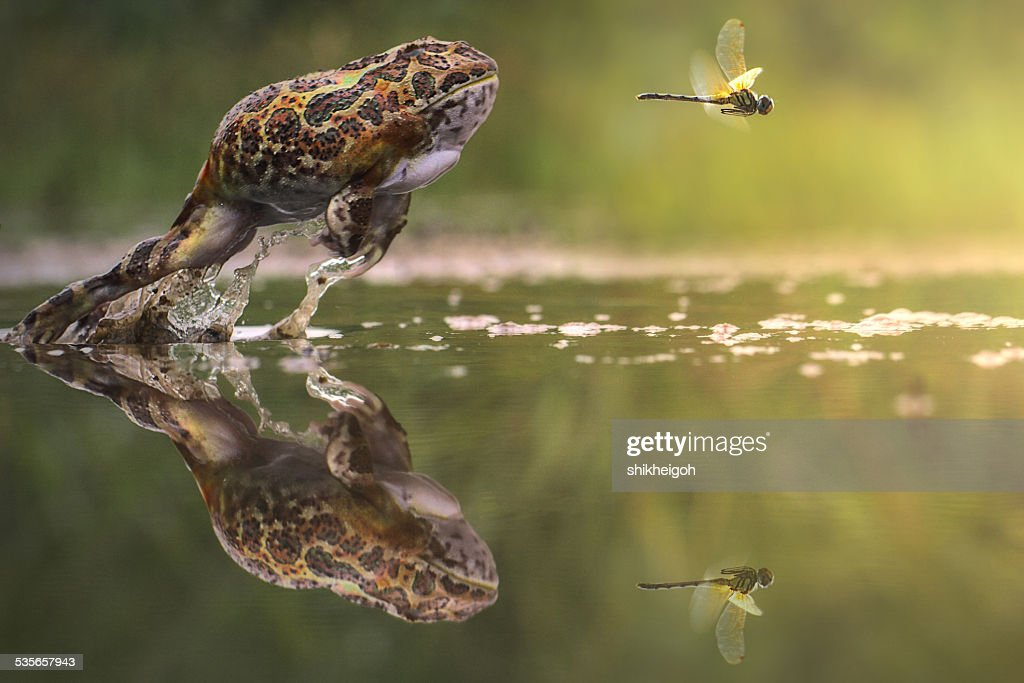 Indonesia, Frog chasing damselfly