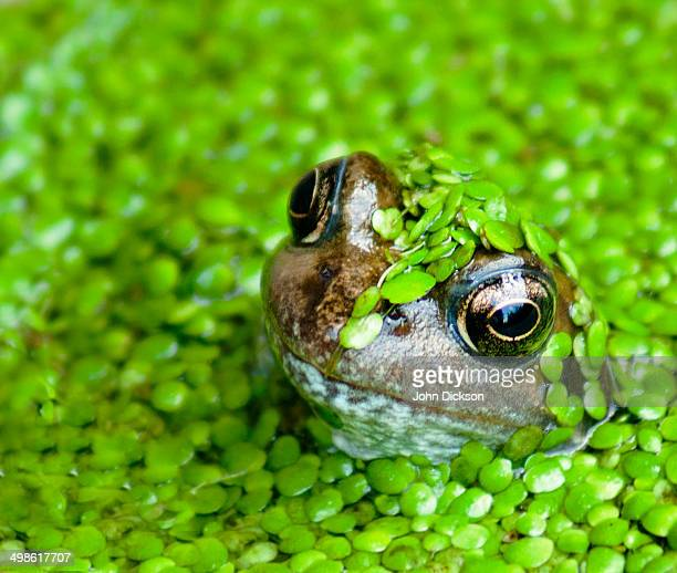 Frog covered in Duckweed