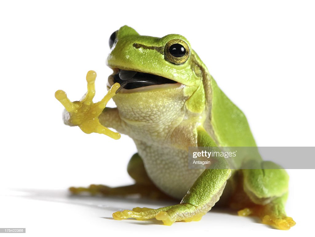 frog eating a fly : Stock Photo