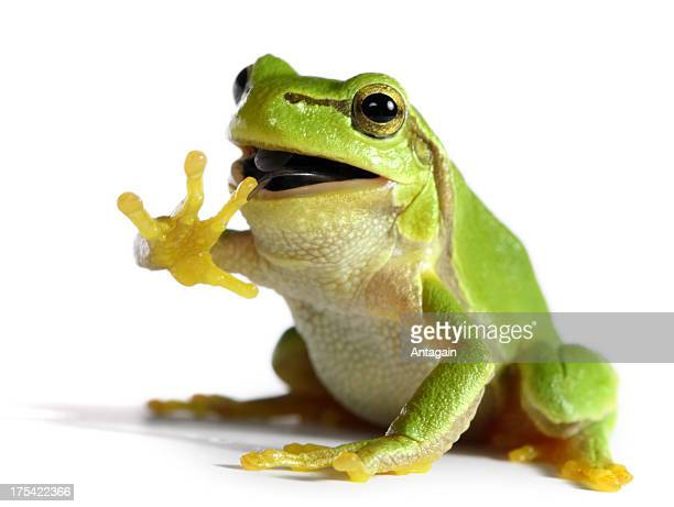 frog eating a fly