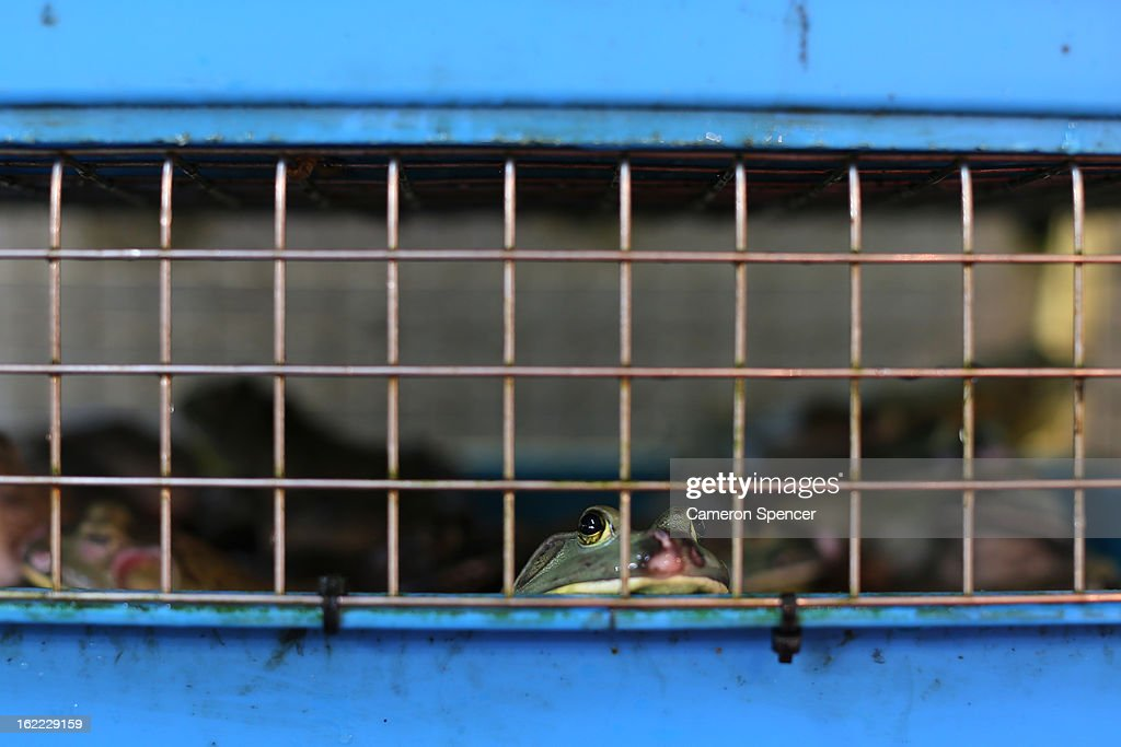 A frog for sale looks out of a cage at the Singapore Chinatown Complex Wet Market on February 21, 2013 in Singapore. The Chinatown Complex Wet Market is a traditional Asian food market popular with elder Singaporeans that features fresh seafood, meat, vegetables, Chinese groceries and a variety of exotic delicacies. The bustling complex floors are never dry with melting ice and water used to clean the floors, fish and vegetables spilling through the space, thus earning the name 'Wet Market'. The markets have retained their relevance by guaranteeing freshness and a personal service between stall mongers and loyal customers.