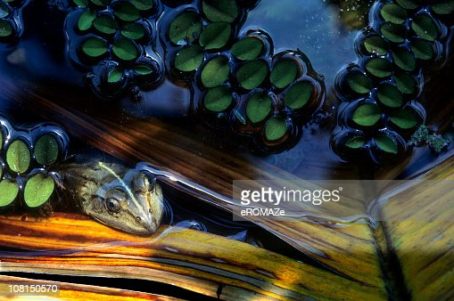 Frog in Pond : Stock Photo