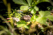 Common frog sunbathing in a pond.