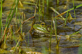 An American Bullfrog sits in the water. These frogs are very vocal and can be heard near most waterways during the spring and summer months.