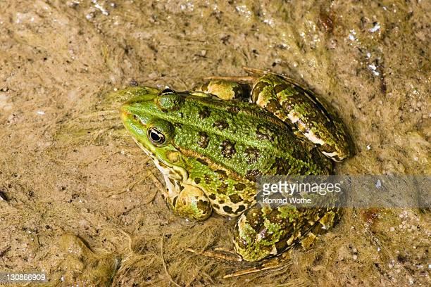 Frog (Rana spec.), Krka National Park, Dalmatia, Croatia, Europe