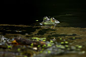 A frog looks on from the water during the third round of the World Golf Championships Bridgestone Invitational at Firestone Country Club South Course...