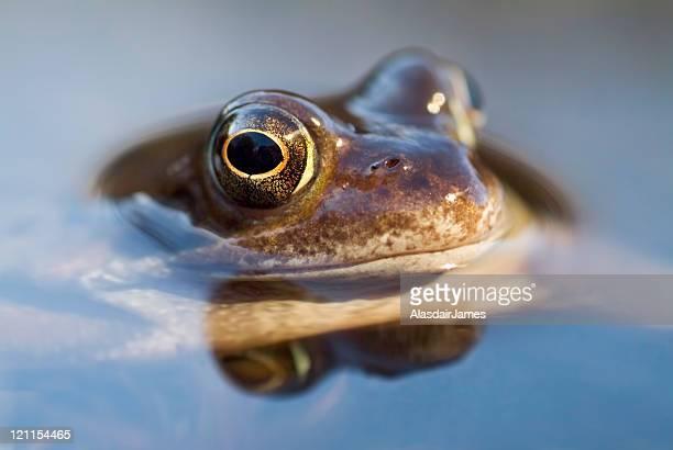 Frosch Makro