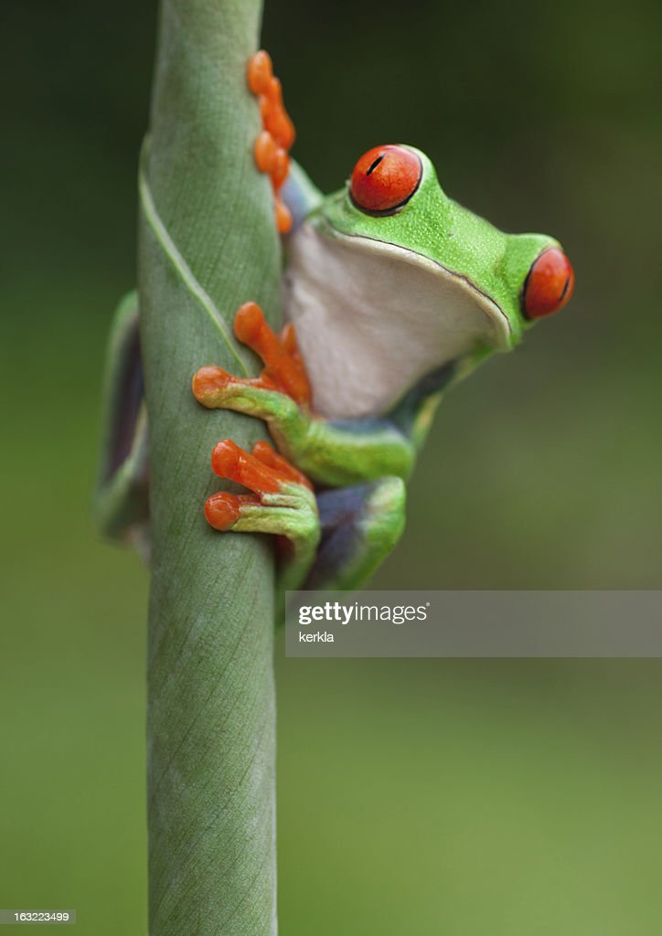 Frog on a plant in its natural environment : Stock Photo
