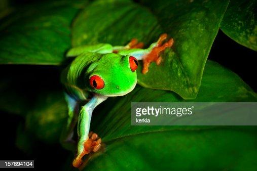 frog on leaf : Stock Photo