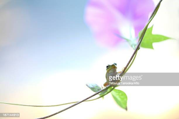 Frog on morning glory