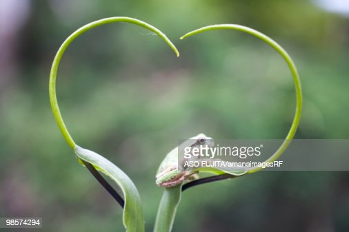 Frog on plant stem, Biei, Hokkaido, Japan : Stock Photo
