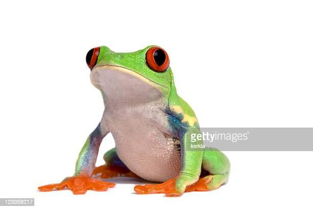 frog (agalychnis callidryas)