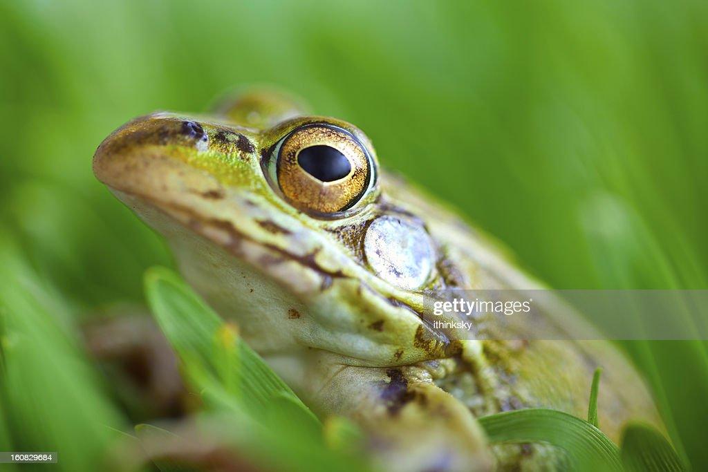 Frog : Stock Photo