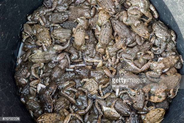 Frogs sit on display for sale at a morning market in Vientiane Laos on Thursday Nov 2 2017 Located in the Mekong region Southeast Asia's frontier...