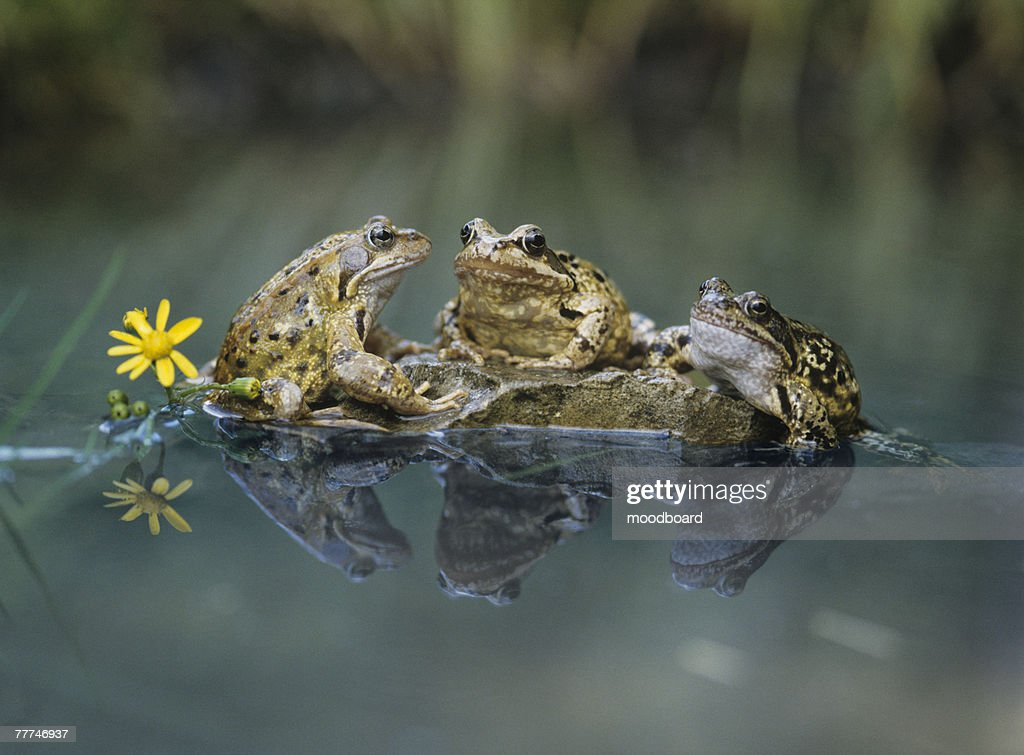 Frogs Sitting on Rock : Stock Photo
