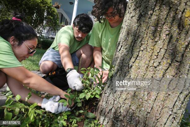 From left Nezzi Da Silva Trevor Russo and Marco Libertini of the Watertown Teen Tree Stewardship program clear growth from the base of a tree in...