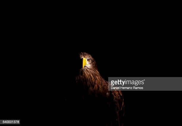 From the dark. White-tailed eagle. Haliaeetus albicilla