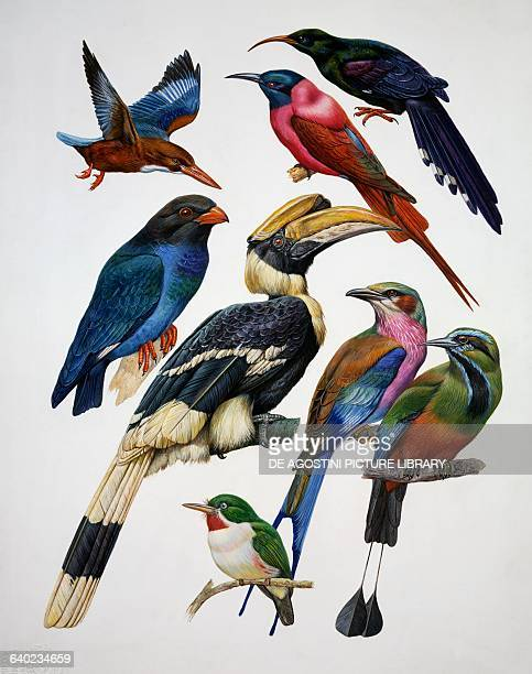 From top left Whitethroated Kingfisher Northern Carmine Beeeater Green wood hoopoe centre from left Dollarbird Great hornbill Lilacbreasted Roller...