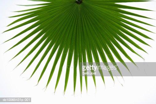 Frond of desert fan palm (washingtonia filifera) : Stock Photo