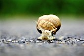 A front close up of an europaean vineyard snail