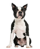 Front view of a Boston terrier sitting, 3 years old, isolated on white