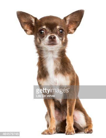 Front view of a Chihuahua sitting