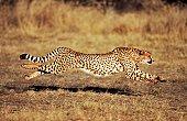 Front View of a Female Cheetah (Acinonyx jubatus) Running