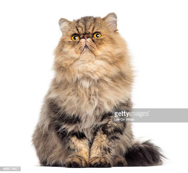 Front view of a grumpy Persian cat