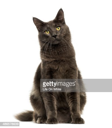Front view of a Maine Coon sitting