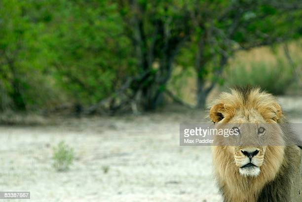 Front view of a male Lion (Panthera Leo). Moremi Wildlife Reserve, Botswana