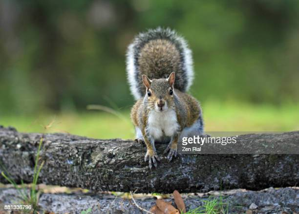 Front view of an Eastern Gray Squirrel - Sciurus carolinensis