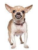 Vue de face de colère Chihuahua rugissant, debout.