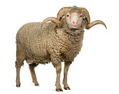 Vue de face de moutons mérinos d'Arles, ram, debout.