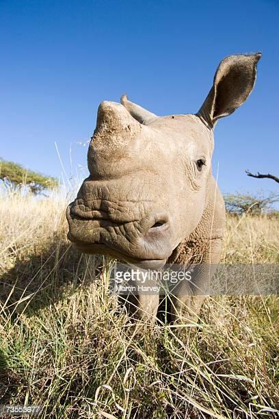 Front View of Baby White Rhino (Ceratotherium simum)