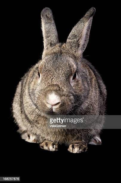 Front view of brown grey rabbit isolated on black.
