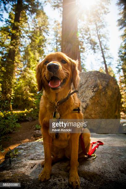 Front view of dog sitting on rock mouth open looking at camera, High Sierra National Park, California, USA