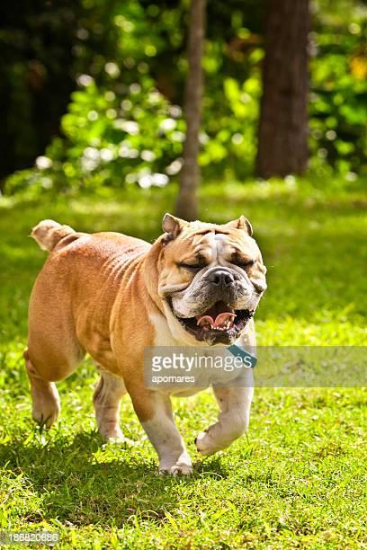 Front view of English Bulldog, walking