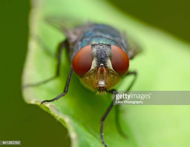 Front View Of Flies