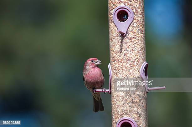 Front view of housefinch perched on bird feeder