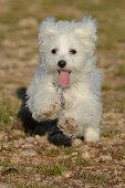 Maltese puppy running towards camera