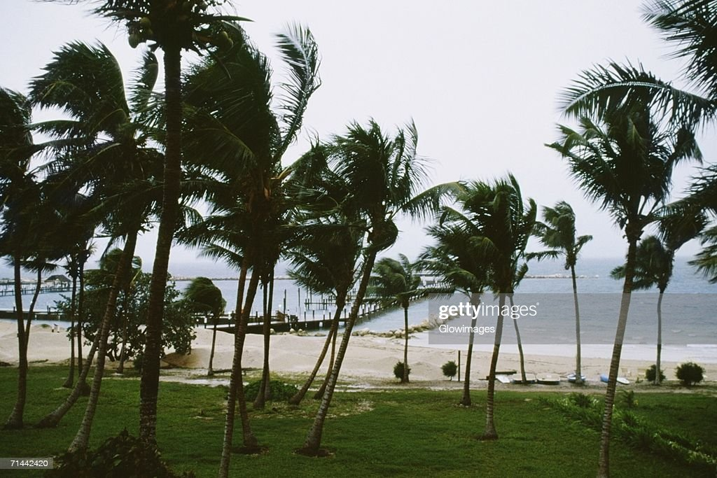 Front view of palm trees swaying in the storm, Abaco, Bahamas
