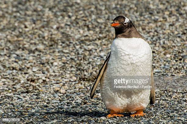 Front View Of Penguin Standing On Rocks