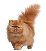 Front view of Persian kitten, 6 months old, white background.