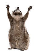 Raccoon, 2 years old, reaching up in front of white background.