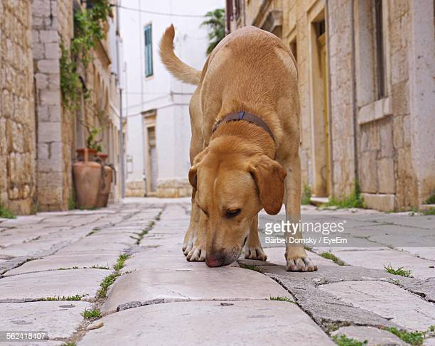 Front View Of Retriever In Street