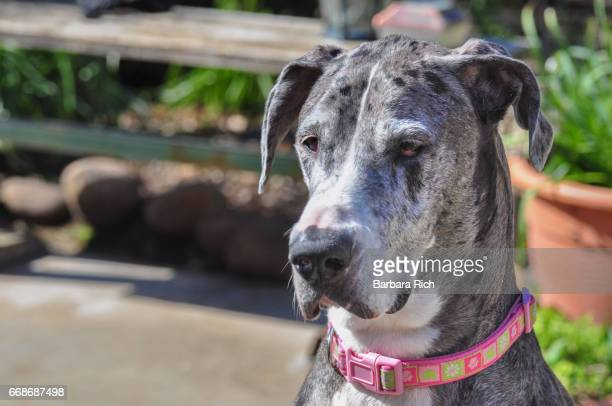 Front view portrait of Blue Merle Great Dane with collar facing towards camera