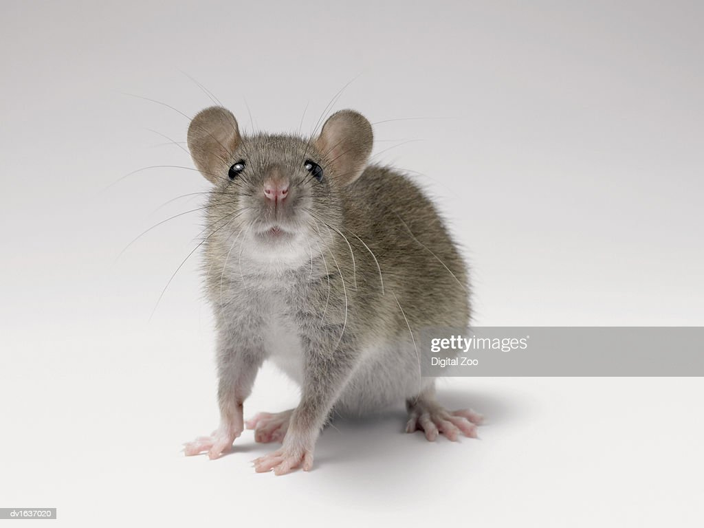 Front View Studio Shot of a Rat Standing Sniffing : Stock Photo