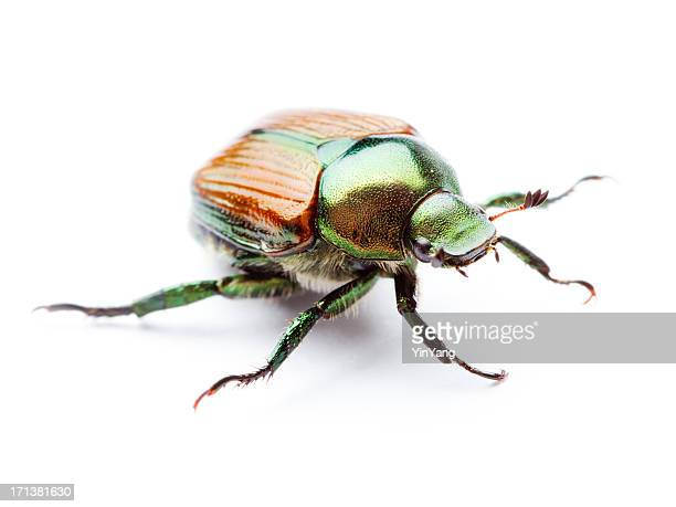 Frontal Macro Close-up of a Japanese Beetle on White Background