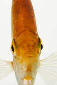 Frontal view of Golden Freshwater Angelfish (Pterophyllum scalare) studio shot against white background